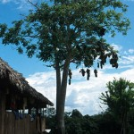 An uvos tree originally planted as a living fence. The birds nests in it are sold to tourists. Note water mark on trunk.