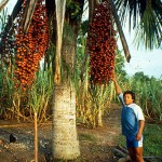 Aguaje palms stay short and are easy to harvest when managed in open areas.