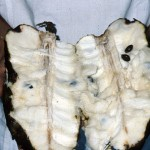 Guanábana (soursop) fruit. This large fruit was once a forest fruit, and has since been domesticated.