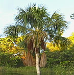 An adult Aguaje grows along the bank of the Tahuayo River.